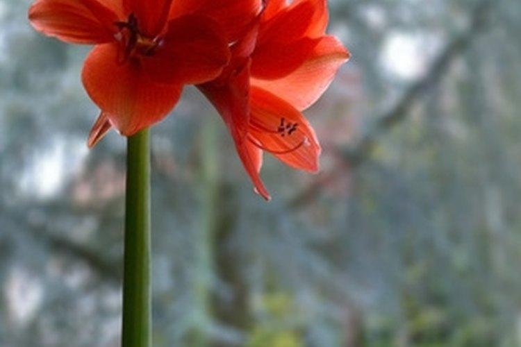 La planta Amaryllis tiene una flor visualmente llamativa.