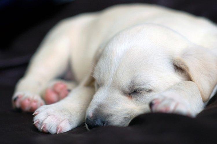 El sueño activo es importante para el crecimiento apropiado de los cachorros.