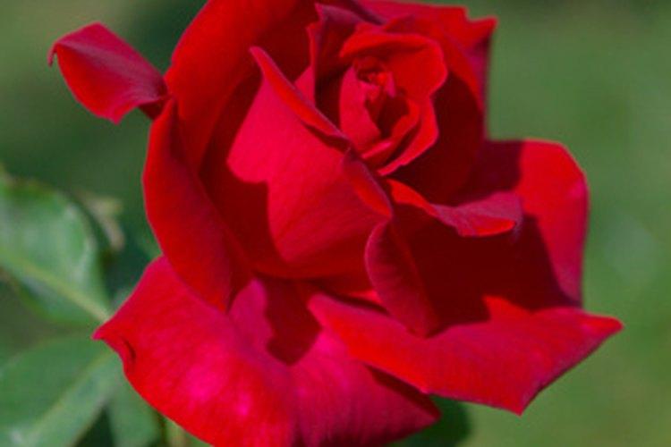Las pequeñas y fragantes variedades de rosas crecen para atraer a los ruiseñores y a las mariposas.
