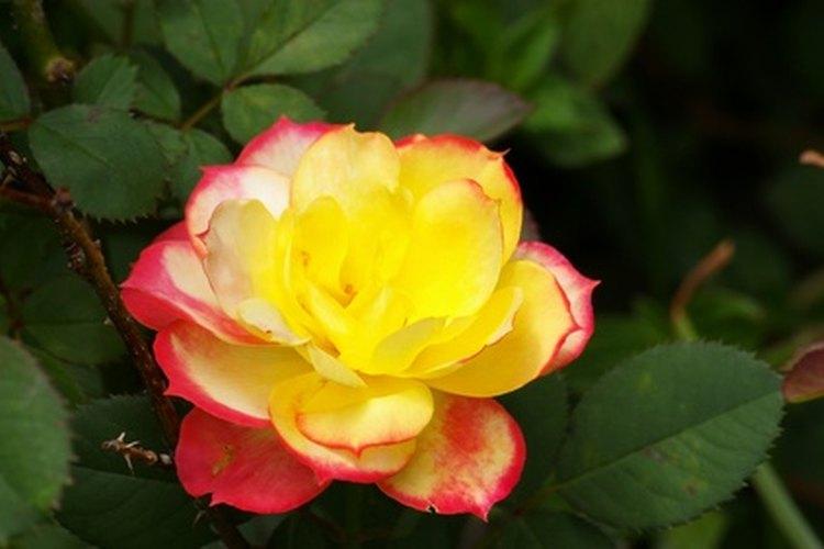 Las mini rosas requieren cuidados similares a las rosas de exterior regulares.