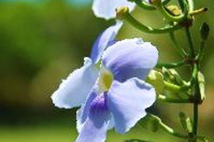 Usa una solución muy débil para regar tus orquídeas.