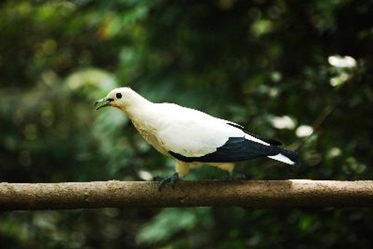 Las aves utilizan el sonido para ahuyentar a los depredadores, entre otras cosas.