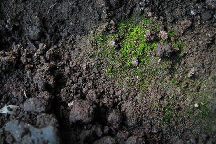 Demasiado suelo húmedo conduce a enfermedades fúngicas en las raíces de la palmera sagú.