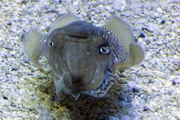 La sepia, un pariente del calamar.