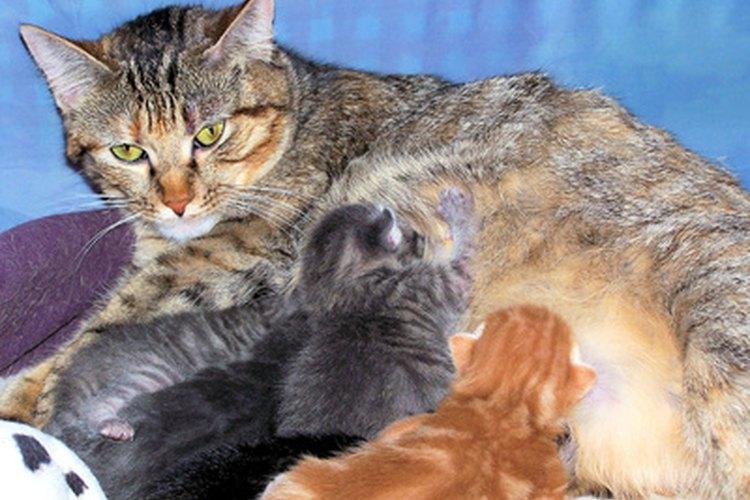 Una madre gato puede quedar embarazada antes de que sus gatitos sean destetados.