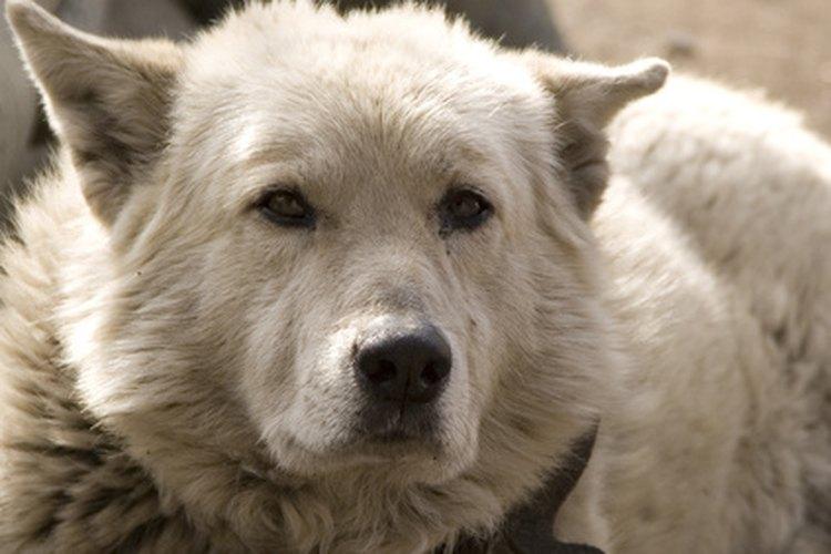 Los perros pueden desarrollar muchos problemas estomacales e intestinales.