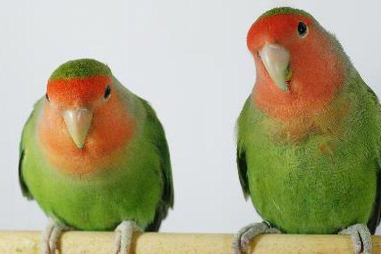 A pesar de que los periquitos se llevan bien juntos, dos pájaros hacen más ruido que uno.