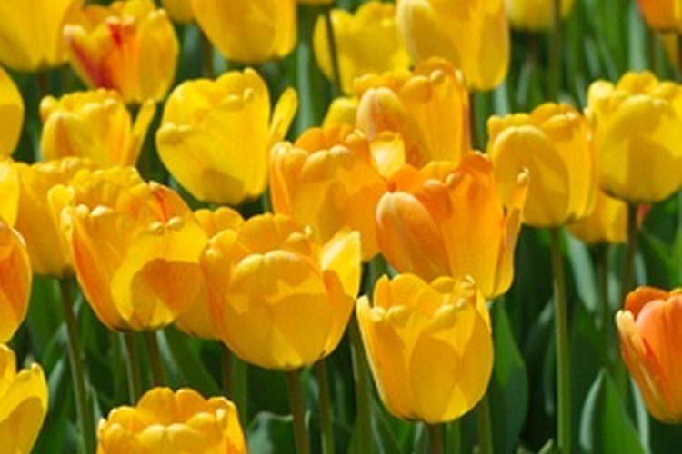 Campo de tulipanes.