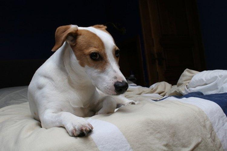 Los perros que han sufrido lesiones ortopédicas pueden requerir cirugía para reparar el daño.