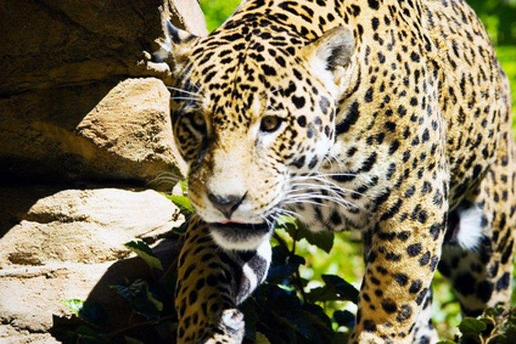 Los Mayas creían que el jaguar podía moverse entre este mundo y el siguiente.