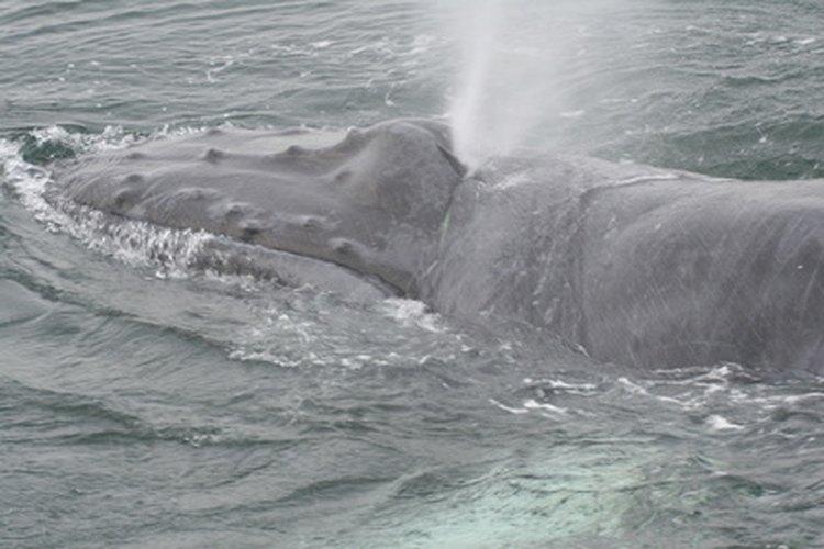 Las ballenas jorobadas son una especie en peligro de extinción que pasa mucho tiempo cerca de la Antártica.