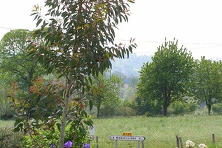 Enfermedades del eucalipto - Informacion sobre el eucalipto ...