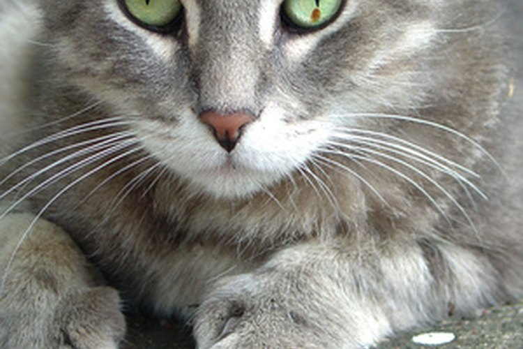 Los gatos ronronean por diversos motivos.
