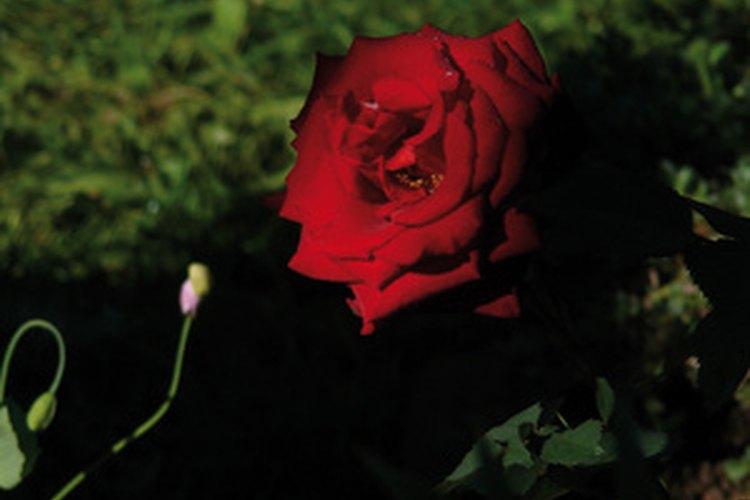 Fertiliza las rosas con harina de huesos hecha al vapor.