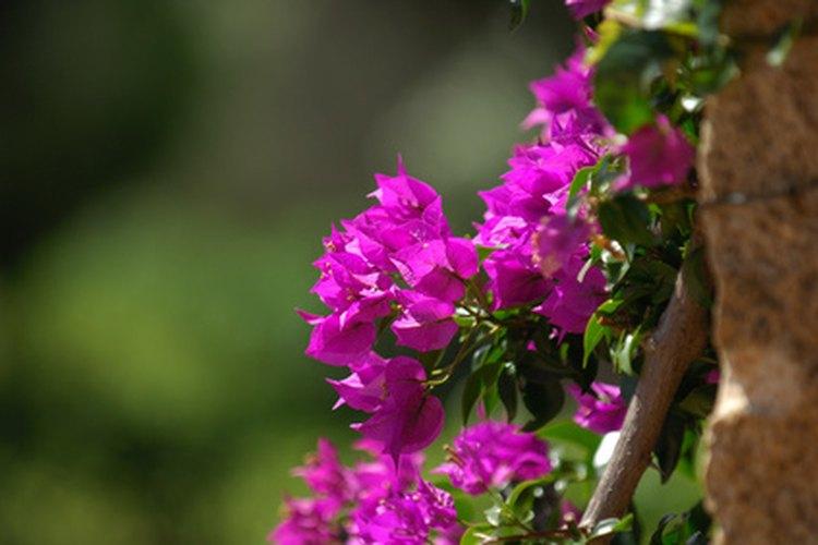 La mayoría de buganvilias se propagan mejor con esquejes, pero las variedades menos vigorosas requieren injertos.
