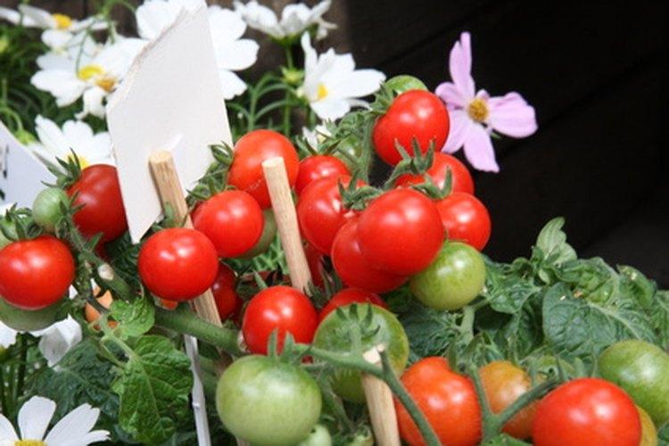 Las plantas de tomate se pueden ver afectadas por insectos.