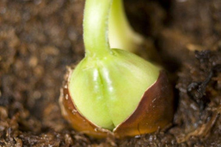 Una plántula comienza a crecer.