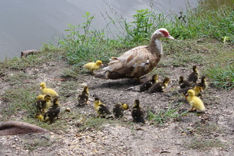 Aunque una pata cuida de sus crías, la mayoría de las personas prefieren utilizar una incubadora.