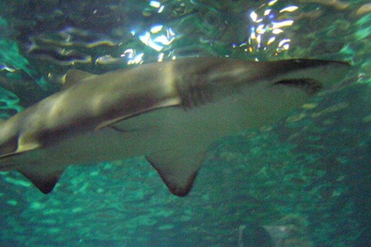 Los tiburones tienen su sistema para respirar.