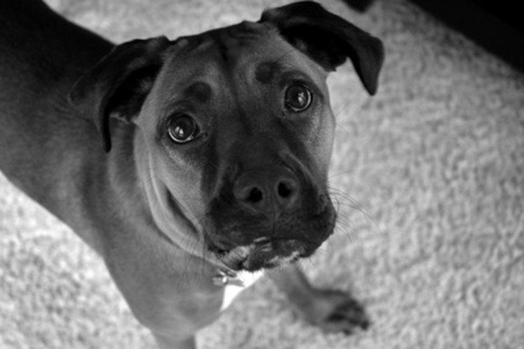 Alimentar a una perra boxer preñada con una dieta adecuada es especialmente importante.
