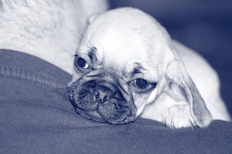 Cuidar cachorros pug recién nacidos requieren de mucho tiempo y paciencia.