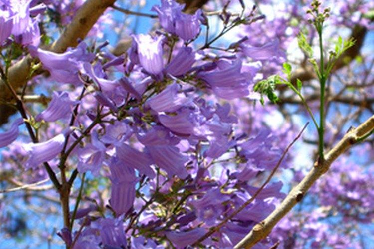 Los árboles de jacarandá florecen profusamente.