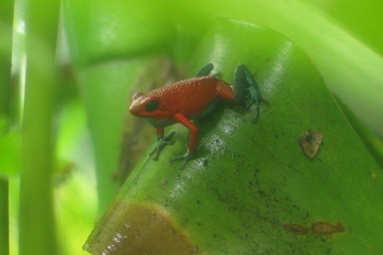 Lee sobre más acerca de ranas y sapos.