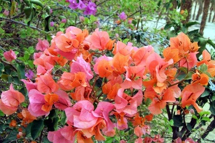 La buganvilia es un vegetal de la selva tropical, el cual es nativo de la selva amazónica.