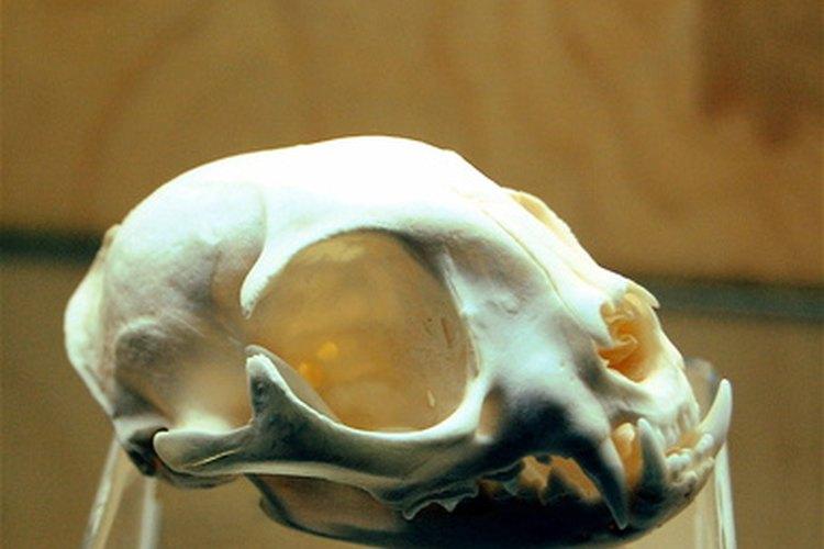 El cráneo felino presenta varias deferencias anatómicas notables al cráneo humano.