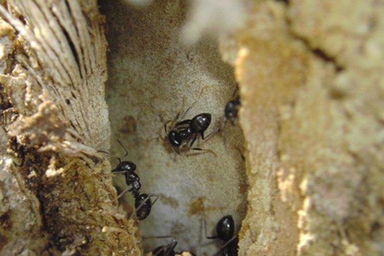 Hormigas.