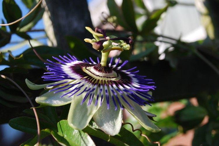 Una planta versátil, la pasiflora es tanto tropical y de hoja caduca.