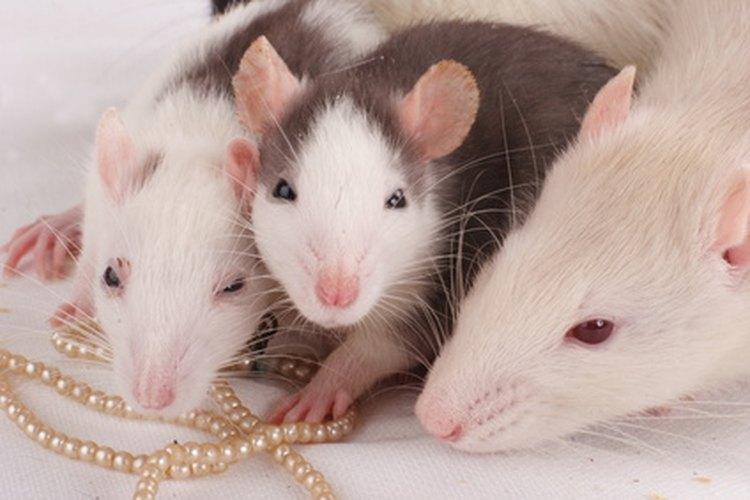 Las ratas y ratones son mascotas populares, sin embargo, es difícil diferenciarlos cuando son pequeños.
