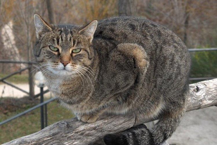 Los gatitos normalmente se acercan a su madre con una cola hacia arriba como un asta de bandera como forma de amor y respeto.