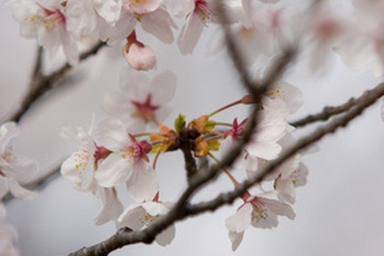 Cuál Es El Significado De Las Flores Del Cerezo
