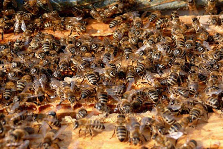 Un exterminador de abejas primero localizará su nido y matará a todos los habitantes.