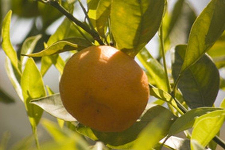 Los naranjos pueden obtenerse a partir de semillas.