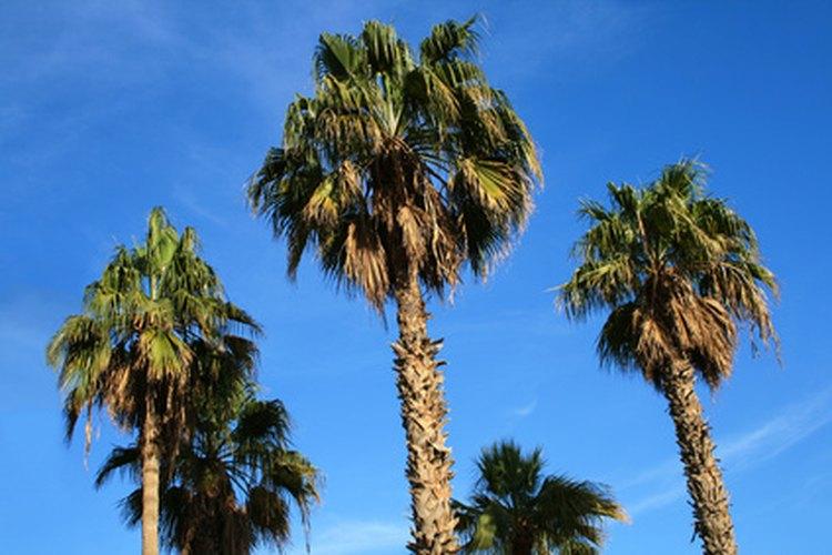 Las palmeras Washingtonia son palmeras de tronco solitario.