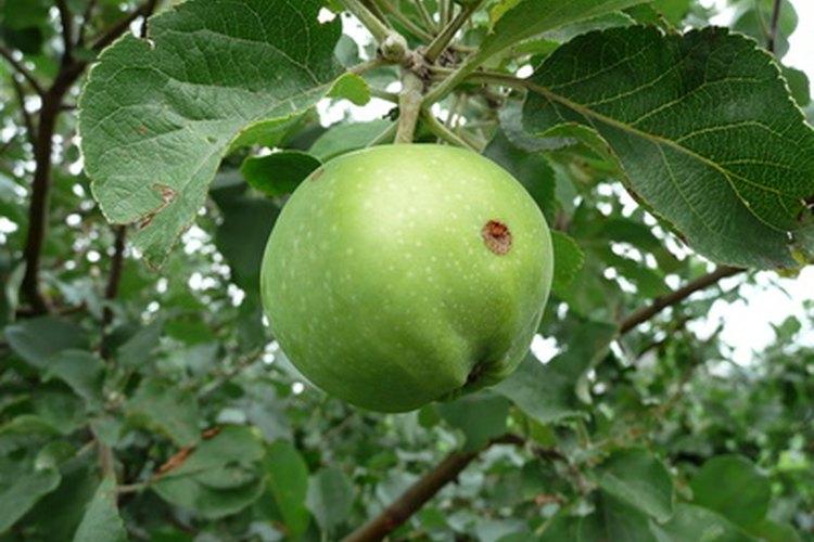 La putrefacción a partir del hongo por lo general se debe a que en la cáscara de la manzana algo se abrió.