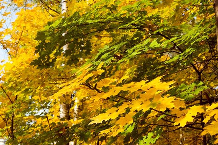 Por qu los pinos se mantienen verdes todo el a o for Arboles que no pierden sus hojas en otono