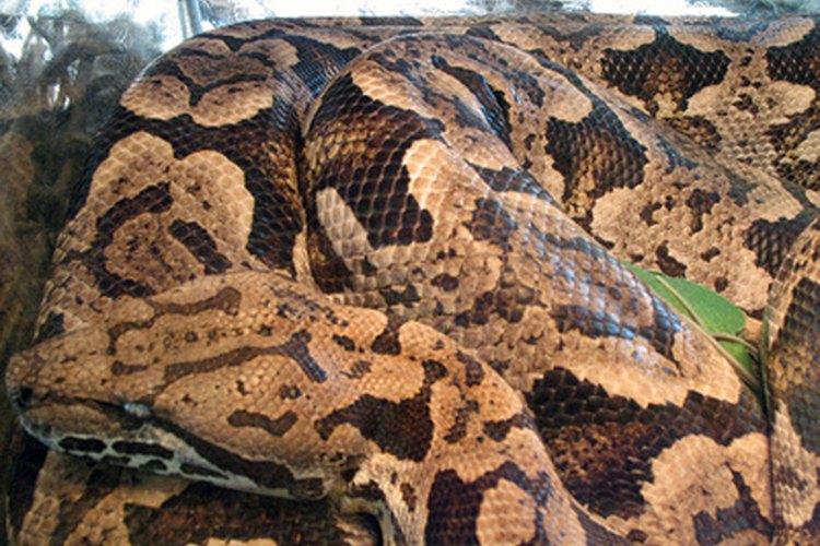 Introducir algunas serpientes toro grandes en tu propiedad puede ser una forma efectiva de repeler especies venenosas.
