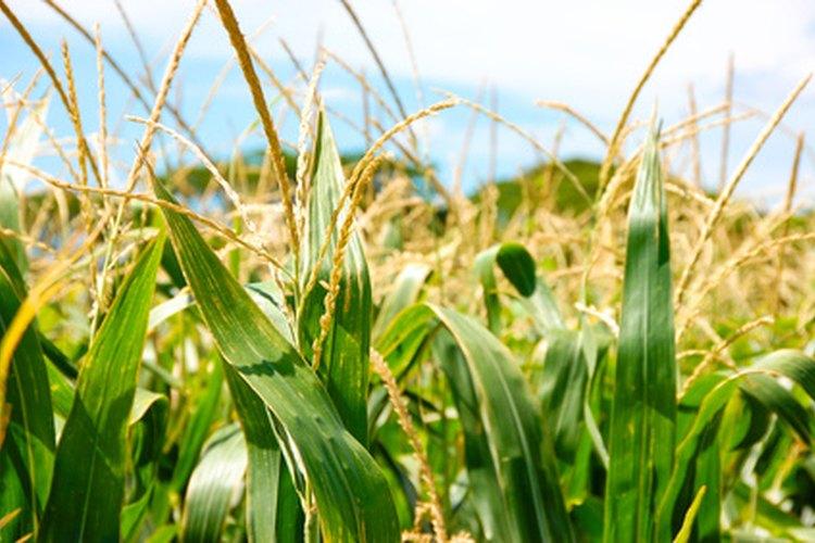 Es mejor cocinar el maíz cuando está recién recolectado.
