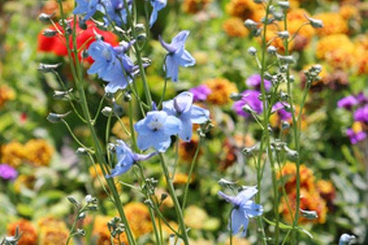 Fertilizar apropadiamente asegura flores hermosas.
