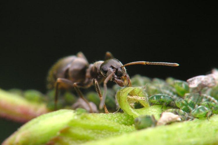 Observa tus árboles de cítricos en primavera cuando las poblaciones de hormigas comiencen a surgir.