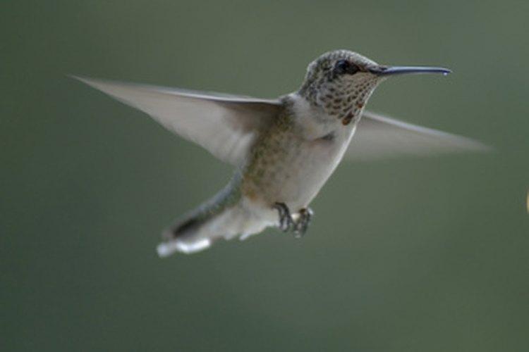 Los colibríes tienen requisitos específicos de vivienda.