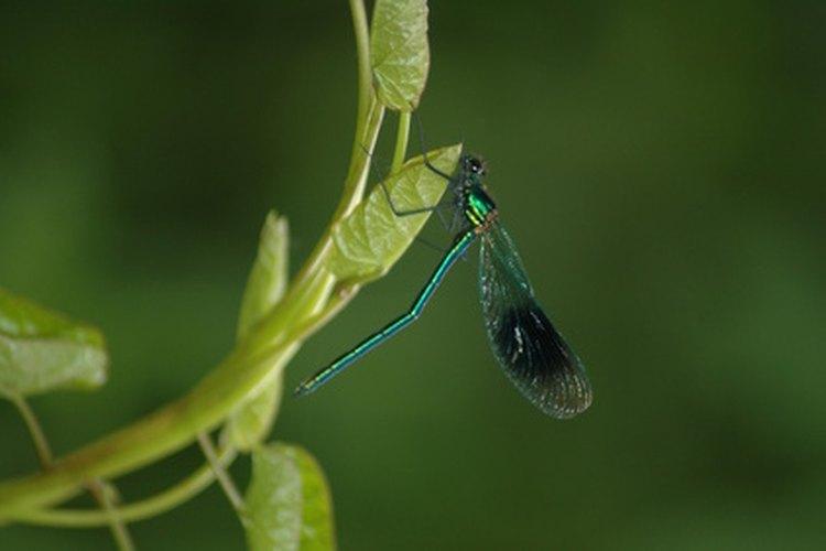 Un tatuaje de libélula puede ser bello y delicado.