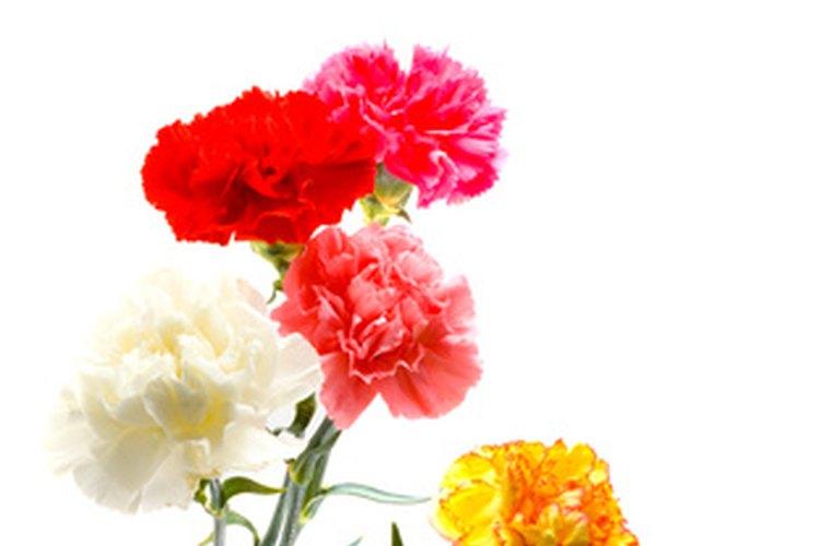 Los muchos colores de los claveles significan diferentes cosas en floriografía