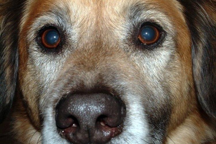 Las benzodiazepinas se utilizan para perros con ansiedad.