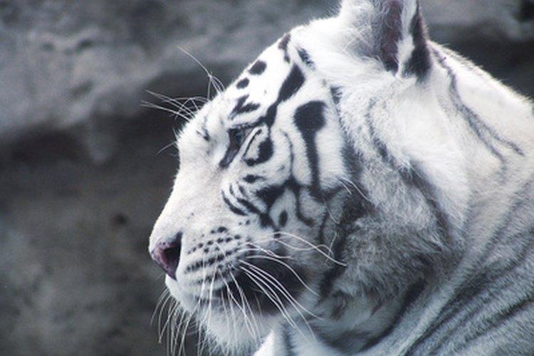 La población global de tigres ha ido desapareciendo a tener cerca de 3000 miembros.