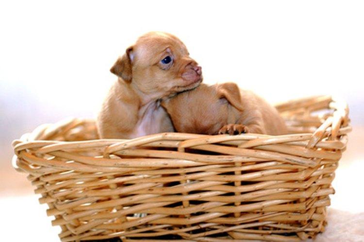 Muchos nacimientos de chihuahuas son el resultado de cesáreas.
