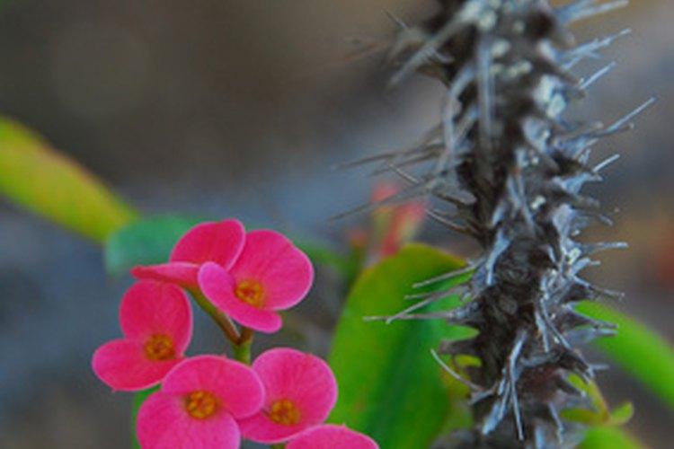 Flores del cactus corona de espinas.